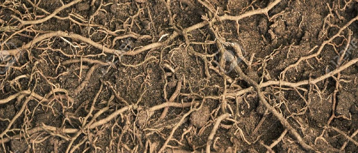 11855005-close-up-roots-with-fertile-soil-background-Stock-Photo-tree-crop